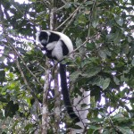 Black and white ruffed lemur
