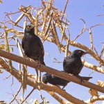 Pale Winged Starling