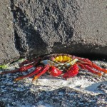 Sally Light Foot Crab (Endemik)