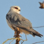 Ak Çaylak (Black-shouldered Kite)