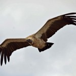 African White -backed Vulture
