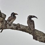 African Grey Hornbill