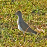 Senegal Lapwing