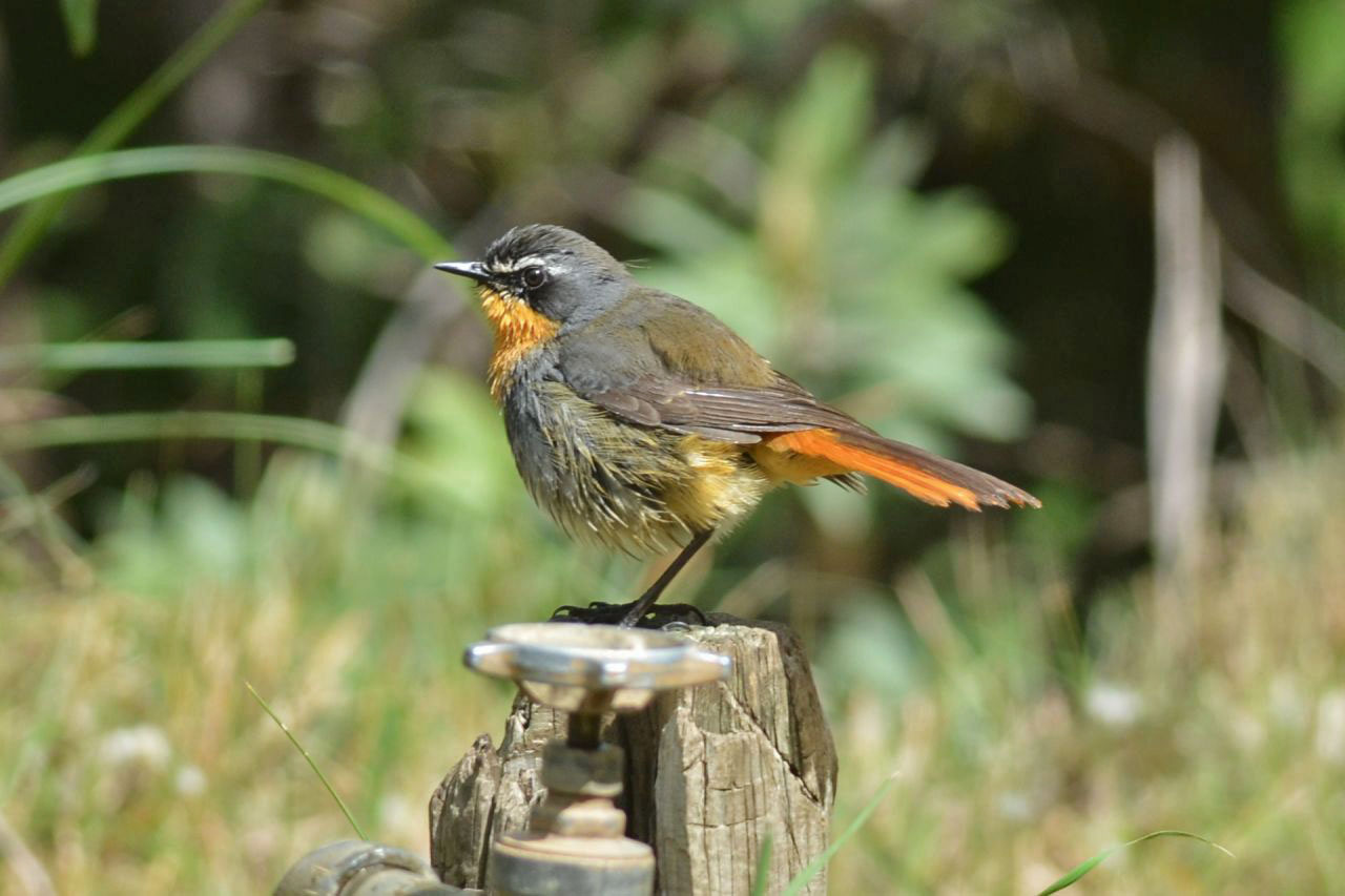 Robin Chat