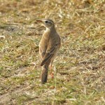 Plain-backed Pipit