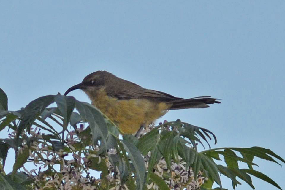 Double Colared Sunbird