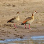 Mısır Kazı (Egyptian Goose)