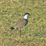 Mahmuzlu Kızkuşu (Spur-Winged plover)