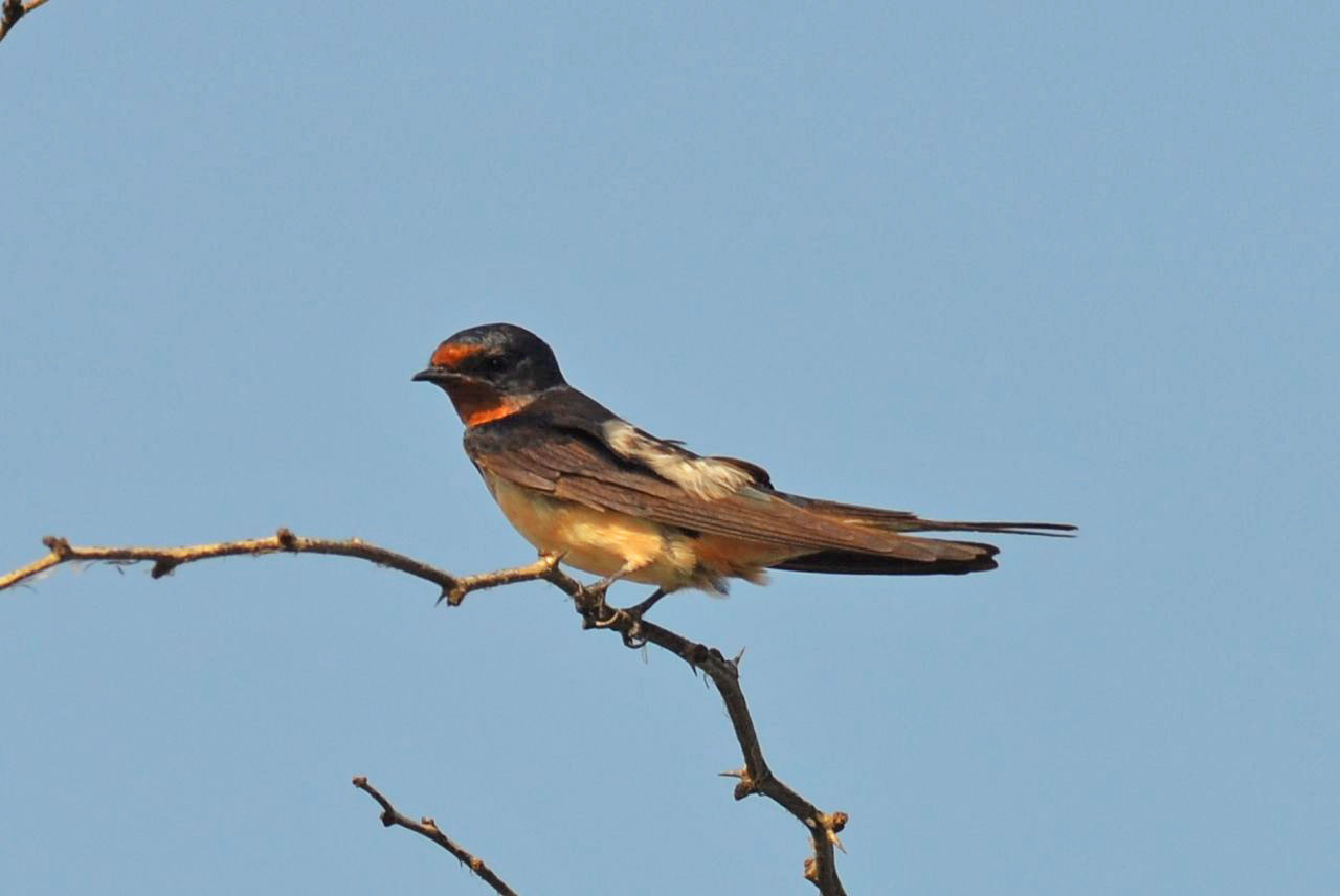 Eurasian Swallow