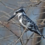 Alaca Yalıçapkını (Pied Kingfisher)