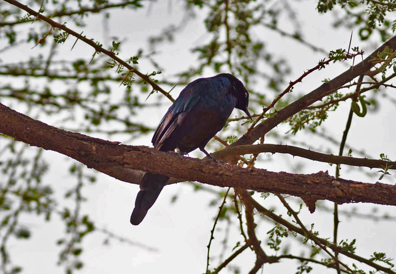 Ruppell's Long tailed Starling