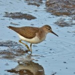 Orman Düdükçünü (Wood Sandpiper)