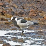 Blacksmith Plover