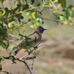Arap Bülbülü (common Bulbul)