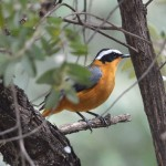 White -browed Robin Chat