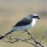 African Shrike