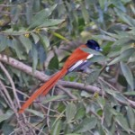 Paradise Flycatcher