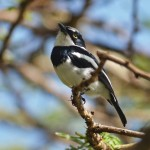 Chin-spot Batis
