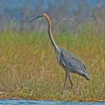 Goliath Heron
