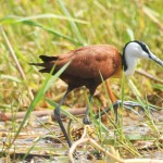 Jacana