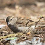 Indian house sparrow