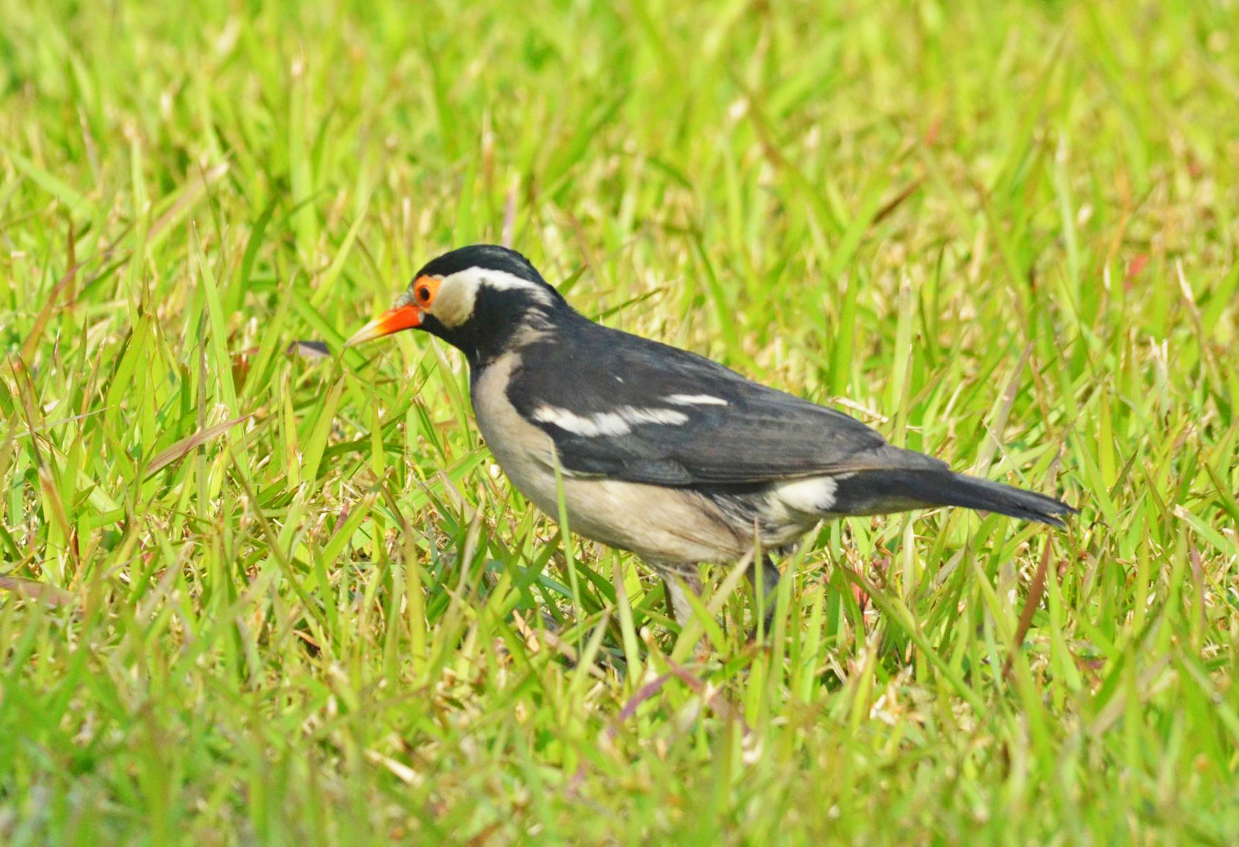 Indian Pied Myna