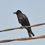 Jungle Crow (large billed crow